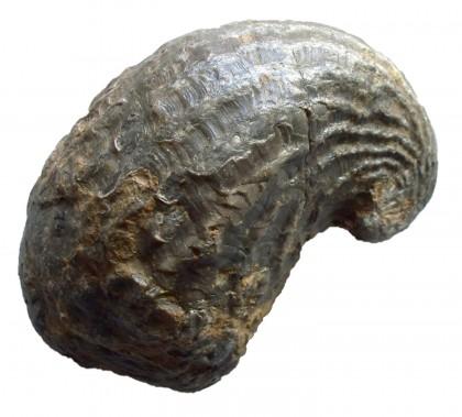 """""""Gryphaea Arcuata"""" Giurassico inferiore, Marocco"""